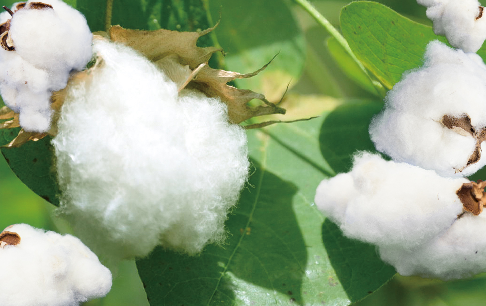 Cosmetic Cotton from Medical Technology